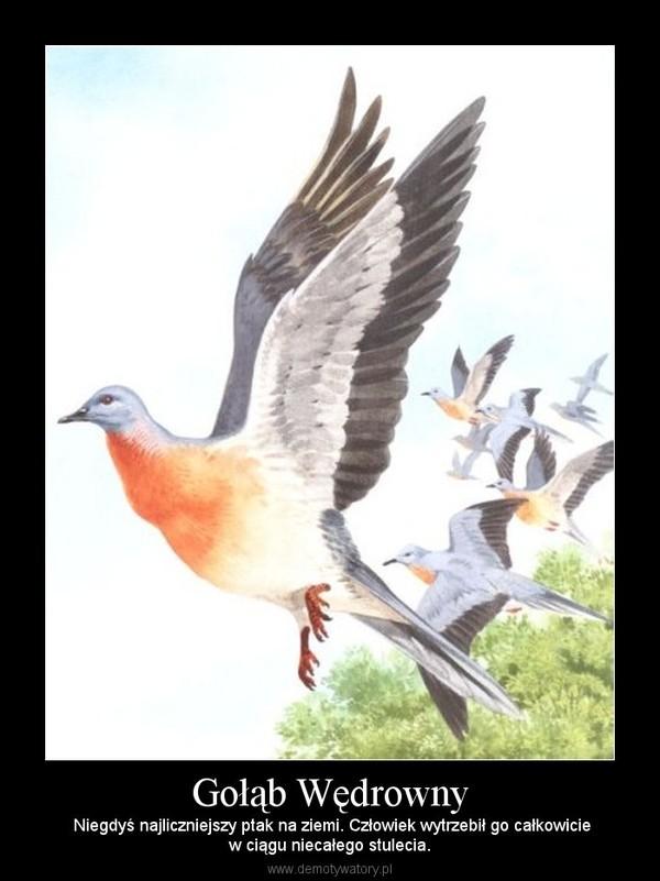 Gołąb Wędrowny –  Niegdyś najliczniejszy ptak na ziemi. Człowiek wytrzebił go całkowiciew ciągu niecałego stulecia.
