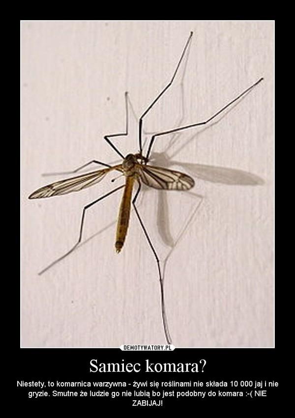 Samiec komara? – Niestety, to komarnica warzywna - żywi się roślinami nie składa 10 000 jaj i nie gryzie. Smutne że ludzie go nie lubią bo jest podobny do komara :-( NIE ZABIJAJ!