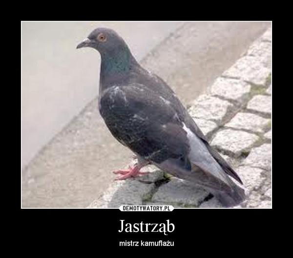 Jastrząb – mistrz kamuflażu