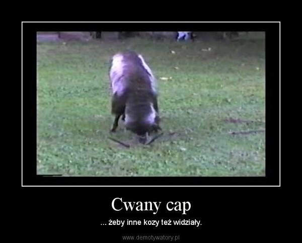 Cwany cap – ... żeby inne kozy też widziały.