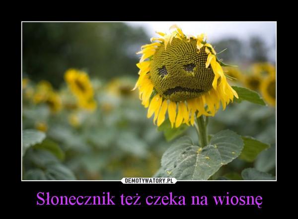 Słonecznik też czeka na wiosnę –