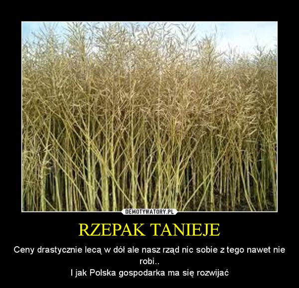 RZEPAK TANIEJE – Ceny drastycznie lecą w dół ale nasz rząd nic sobie z tego nawet nie robi..I jak Polska gospodarka ma się rozwijać