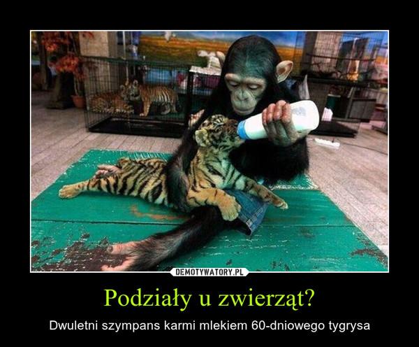 Podziały u zwierząt? – Dwuletni szympans karmi mlekiem 60-dniowego tygrysa