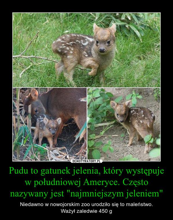 """Pudu to gatunek jelenia, który występuje w południowej Ameryce. Często nazywany jest """"najmniejszym jeleniem"""" – Niedawno w nowojorskim zoo urodziło się to maleństwo.Ważył zaledwie 450 g"""