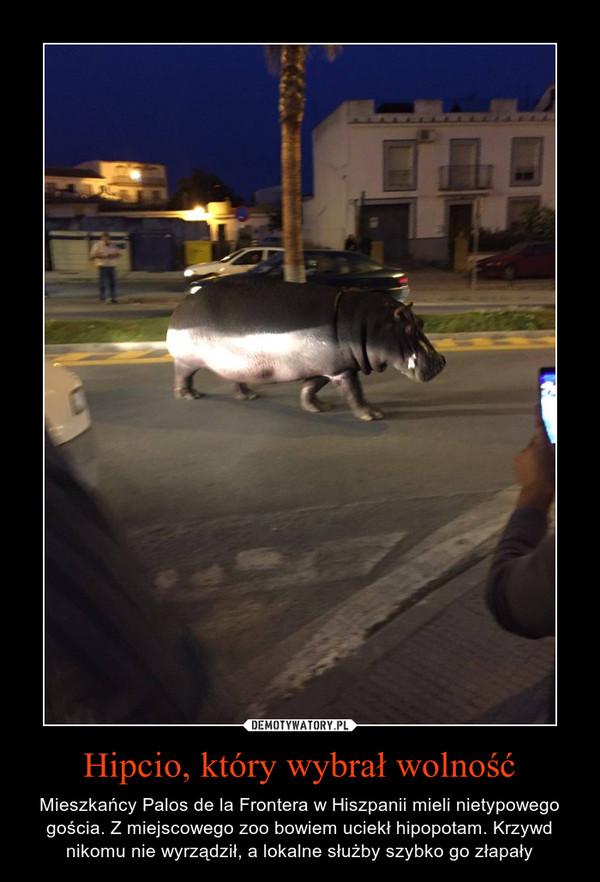 Hipcio, który wybrał wolność – Mieszkańcy Palos de la Frontera w Hiszpanii mieli nietypowego gościa. Z miejscowego zoo bowiem uciekł hipopotam. Krzywd nikomu nie wyrządził, a lokalne służby szybko go złapały