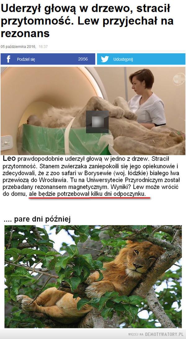 Jak odpoczywać, to odpoczywać –  Uderzył głową w drzewo, straciłprzytomność. Lew przyjechał narezonansLeo prawdopodobnie uderzył głową w jedno z drzew. Straciłprzytomność. Stanem zwierzaka zaniepokoili się jego opiekunowie izdecydowali, że z zoo safari w Borysewie (woj. łódzkie) białego Iwaprzewiozą do Wrocławia. Tu na Uniwersytecie Przyrodniczym zostałprzebadany rezonansem magnetycznym. Wyniki? Lew może wrócićdo domu, ale będzie potrzebował kilku dni odpoczynku.. pare dni później