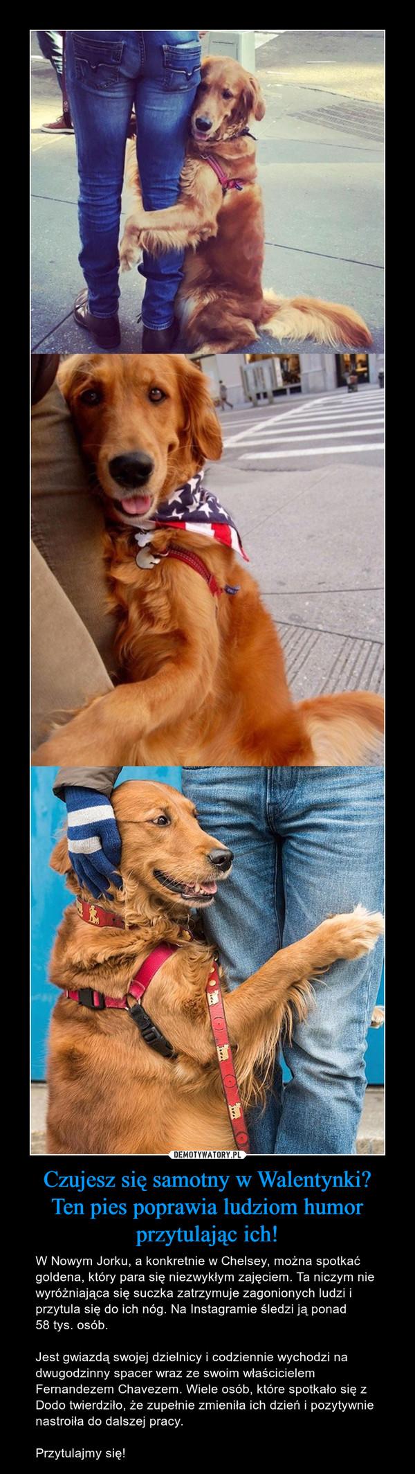 Czujesz się samotny w Walentynki?Ten pies poprawia ludziom humor przytulając ich! – W Nowym Jorku, a konkretnie w Chelsey, można spotkać goldena, który para się niezwykłym zajęciem. Ta niczym nie wyróżniająca się suczka zatrzymuje zagonionych ludzi i przytula się do ich nóg. Na Instagramie śledzi ją ponad 58 tys. osób. Jest gwiazdą swojej dzielnicy i codziennie wychodzi na dwugodzinny spacer wraz ze swoim właścicielem Fernandezem Chavezem. Wiele osób, które spotkało się z Dodo twierdziło, że zupełnie zmieniła ich dzień i pozytywnie nastroiła do dalszej pracy.Przytulajmy się!