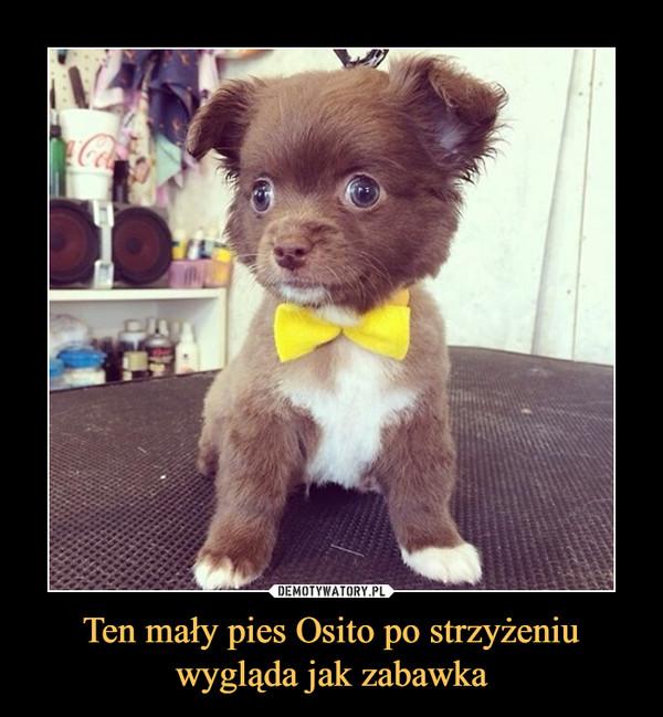 Ten mały pies Osito po strzyżeniuwygląda jak zabawka –