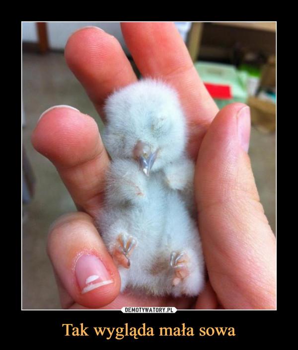 Tak wygląda mała sowa –