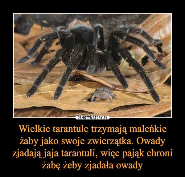 Wielkie tarantule trzymają maleńkie żaby jako swoje zwierzątka. Owady zjadają jaja tarantuli, więc pająk chroni żabę żeby zjadała owady –