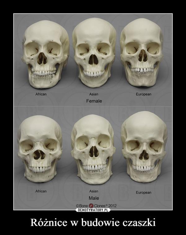 Różnice w budowie czaszki –