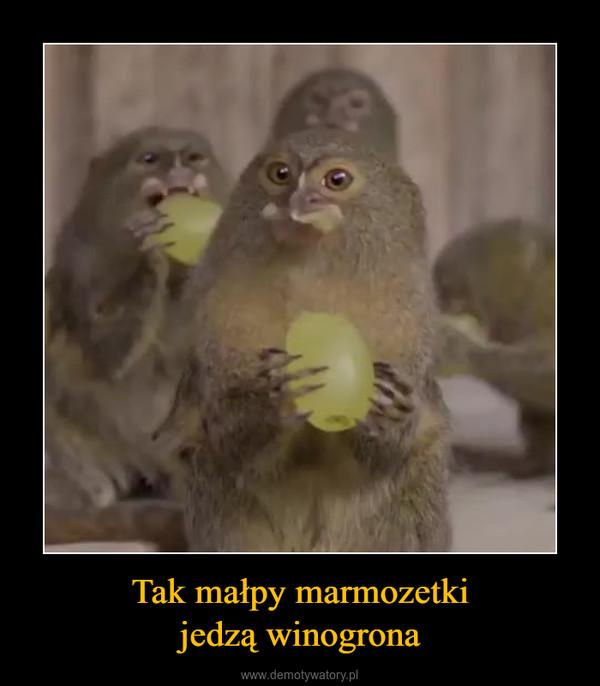 Tak małpy marmozetkijedzą winogrona –