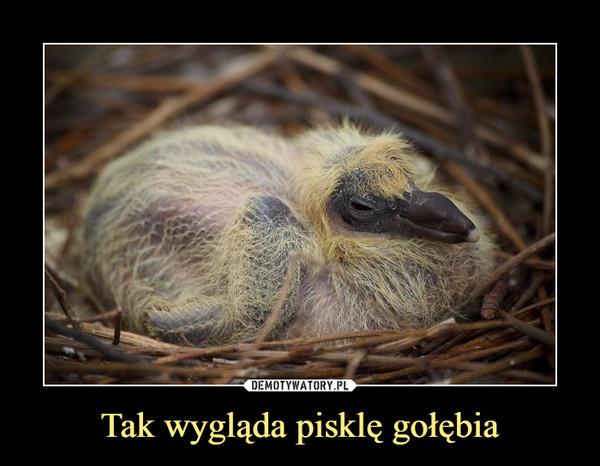 Tak wygląda pisklę gołębia –