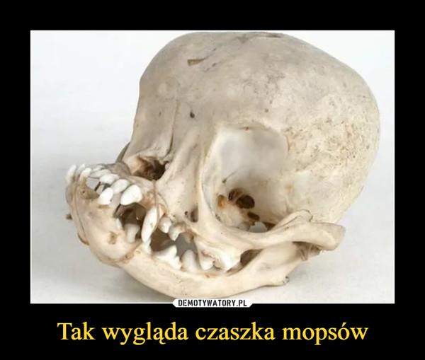 Tak wygląda czaszka mopsów –