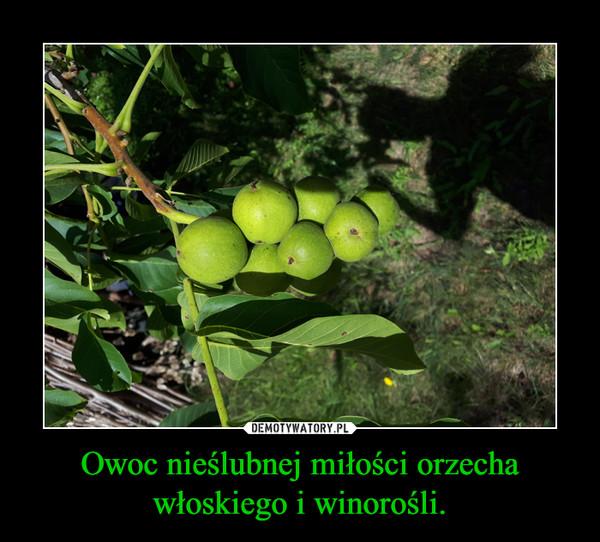 Owoc nieślubnej miłości orzecha włoskiego i winorośli. –