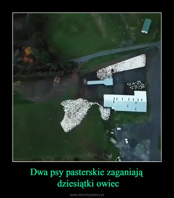 Dwa psy pasterskie zaganiają dziesiątki owiec –