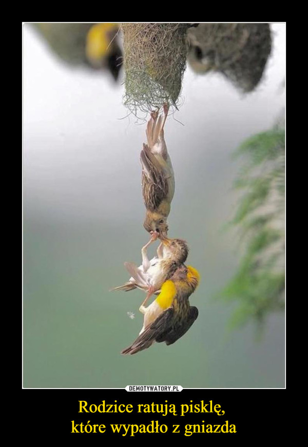 Rodzice ratują pisklę, które wypadło z gniazda –