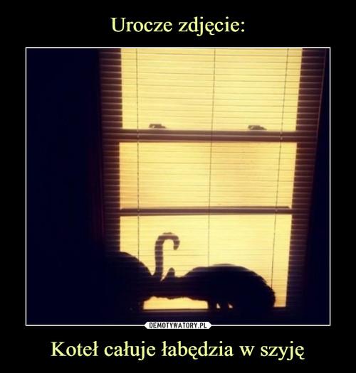 Urocze zdjęcie: Koteł całuje łabędzia w szyję
