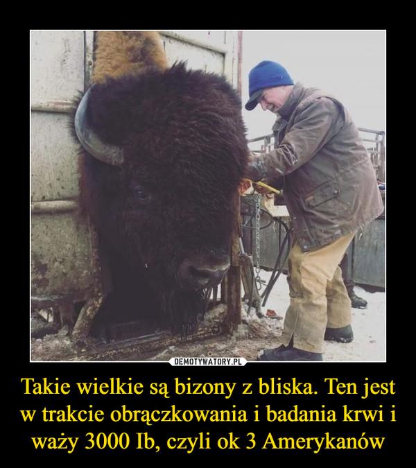 Takie wielkie są bizony z bliska. Ten jest w trakcie obrączkowania i badania krwi i waży 3000 Ib, czyli ok 3 Amerykanów –