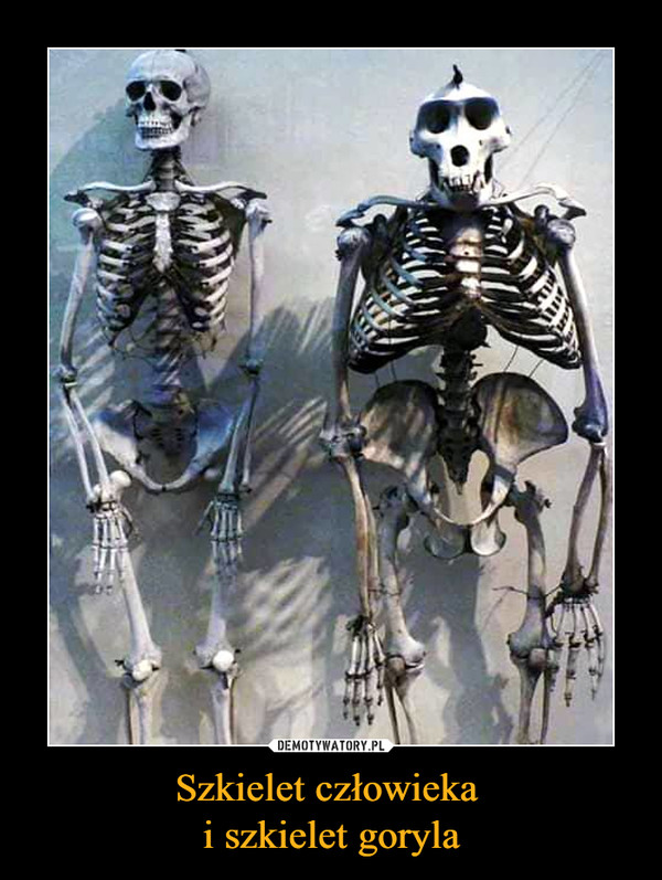 Szkielet człowieka i szkielet goryla –