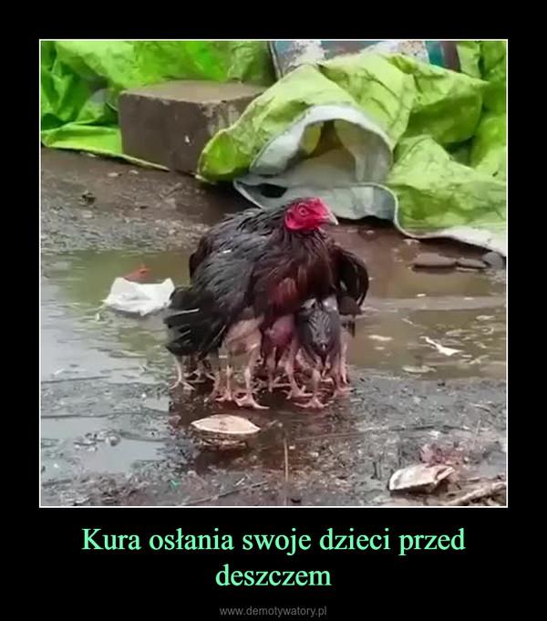 Kura osłania swoje dzieci przed deszczem –