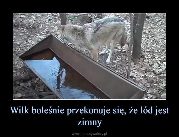 Wilk boleśnie przekonuje się, że lód jest zimny –