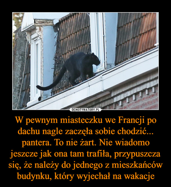 W pewnym miasteczku we Francji po dachu nagle zaczęła sobie chodzić... pantera. To nie żart. Nie wiadomo jeszcze jak ona tam trafiła, przypuszcza się, że należy do jednego z mieszkańców budynku, który wyjechał na wakacje –