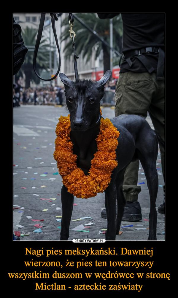 Nagi pies meksykański. Dawniej wierzono, że pies ten towarzyszy wszystkim duszom w wędrówce w stronę Mictlan - azteckie zaświaty –