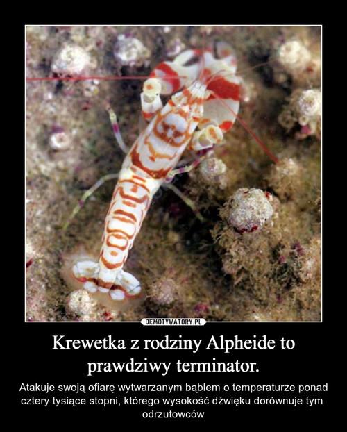Krewetka z rodziny Alpheide to prawdziwy terminator.