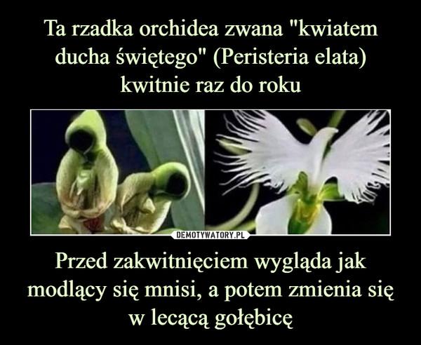 Przed zakwitnięciem wygląda jak modlący się mnisi, a potem zmienia sięw lecącą gołębicę –