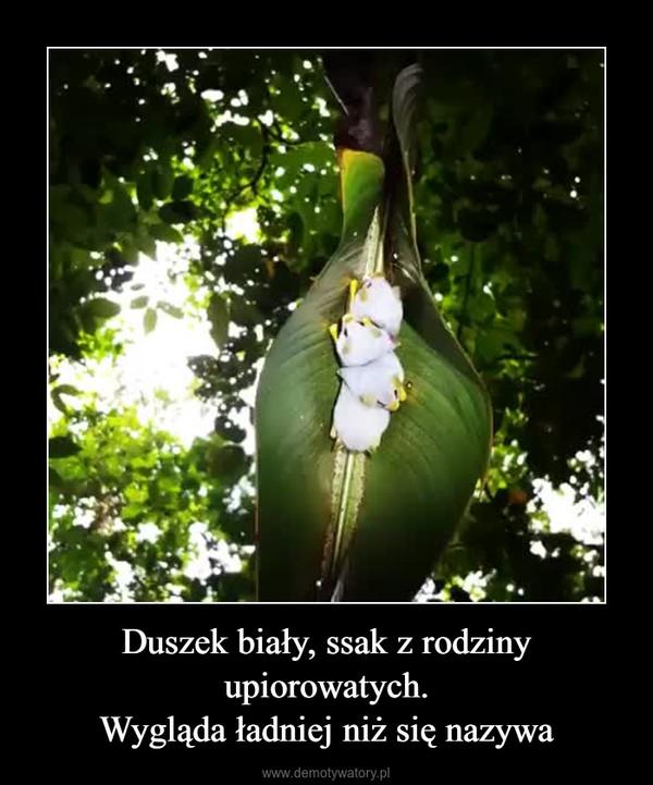 Duszek biały, ssak z rodziny upiorowatych.Wygląda ładniej niż się nazywa –