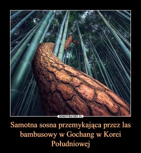 Samotna sosna przemykająca przez las bambusowy w Gochang w Korei Południowej –
