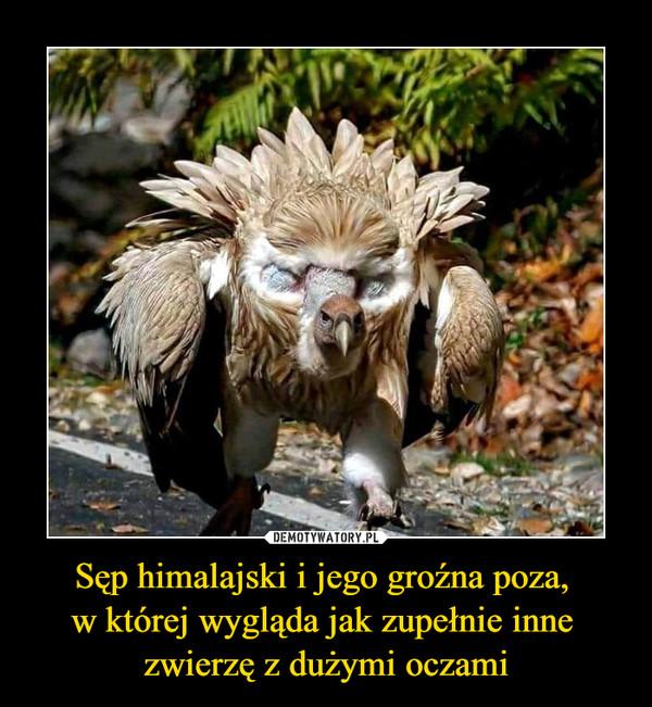 Sęp himalajski i jego groźna poza, w której wygląda jak zupełnie inne zwierzę z dużymi oczami –