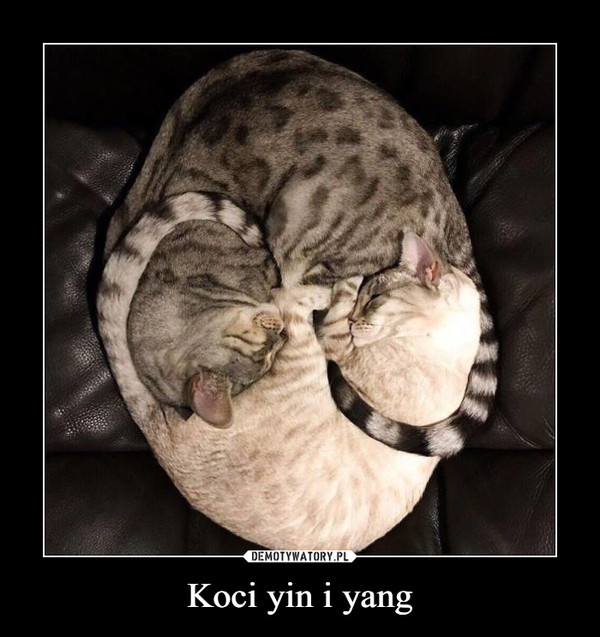 Koci yin i yang –