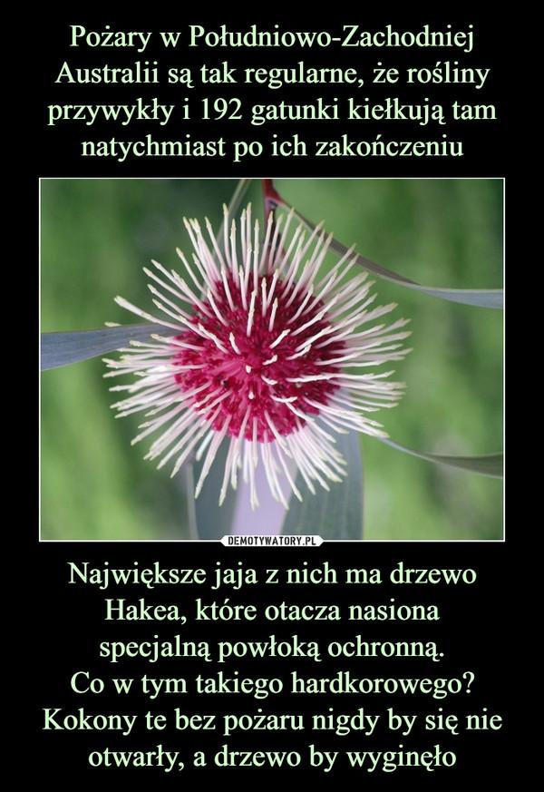 Największe jaja z nich ma drzewo Hakea, które otacza nasionaspecjalną powłoką ochronną.Co w tym takiego hardkorowego?Kokony te bez pożaru nigdy by się nie otwarły, a drzewo by wyginęło –