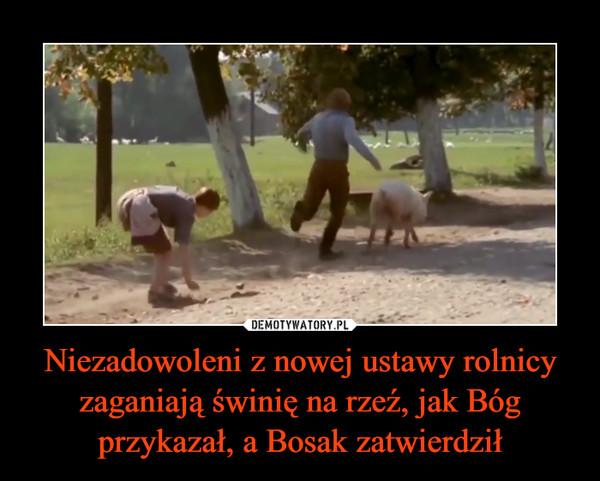 Niezadowoleni z nowej ustawy rolnicy zaganiają świnię na rzeź, jak Bóg przykazał, a Bosak zatwierdził –