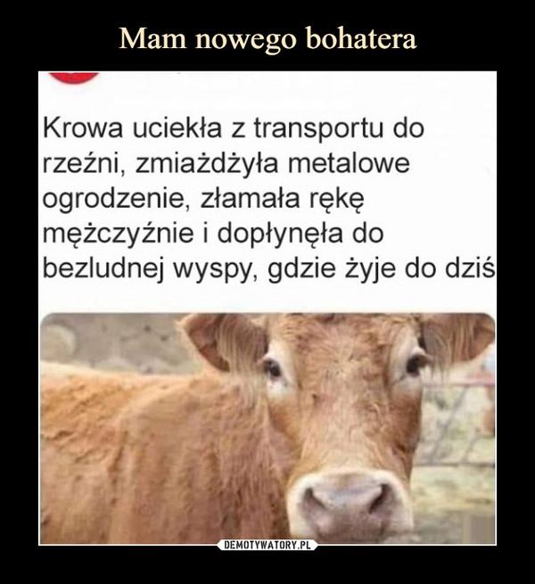 –  Krowa uciekła z transportu dorzeźni, zmiażdżyła metaloweogrodzenie, złamała rękęmężczyźnie i dopłynęła dobezludnej wyspy, gdzie żyje do dziś