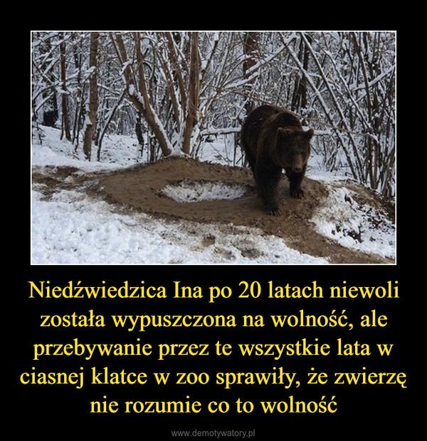 Niedźwiedzica Ina po 20 latach niewoli została wypuszczona na wolność, ale przebywanie przez te wszystkie lata w ciasnej klatce w zoo sprawiły, że zwierzę nie rozumie co to wolność –