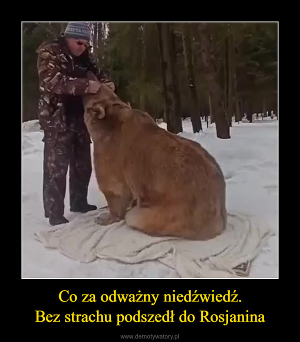 Co za odważny niedźwiedź.Bez strachu podszedł do Rosjanina –