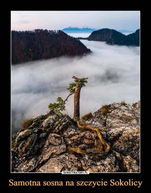 Samotna sosna na szczycie Sokolicy