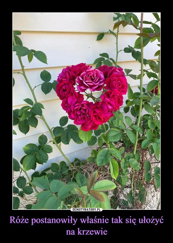 Róże postanowiły właśnie tak się ułożyć na krzewie –