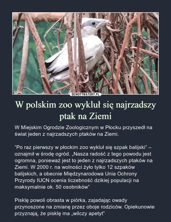 """W polskim zoo wykluł się najrzadszy ptak na Ziemi – W Miejskim Ogrodzie Zoologicznym w Płocku przyszedł na świat jeden z najrzadszych ptaków na Ziemi. """"Po raz pierwszy w płockim zoo wykluł się szpak balijski"""" – oznajmił w środę ogród. """"Nasza radość z tego powodu jest ogromna, ponieważ jest to jeden z najrzadszych ptaków na Ziemi. W 2000 r. na wolności żyło tylko 12 szpaków balijskich, a obecnie Międzynarodowa Unia Ochrony Przyrody IUCN ocenia liczebność dzikiej populacji na maksymalnie ok. 50 osobników"""" Pisklę powoli obrasta w piórka, zajadając owady przynoszone na zmianę przez oboje rodziców. Opiekunowie przyznają, że pisklę ma """"wilczy apetyt"""""""
