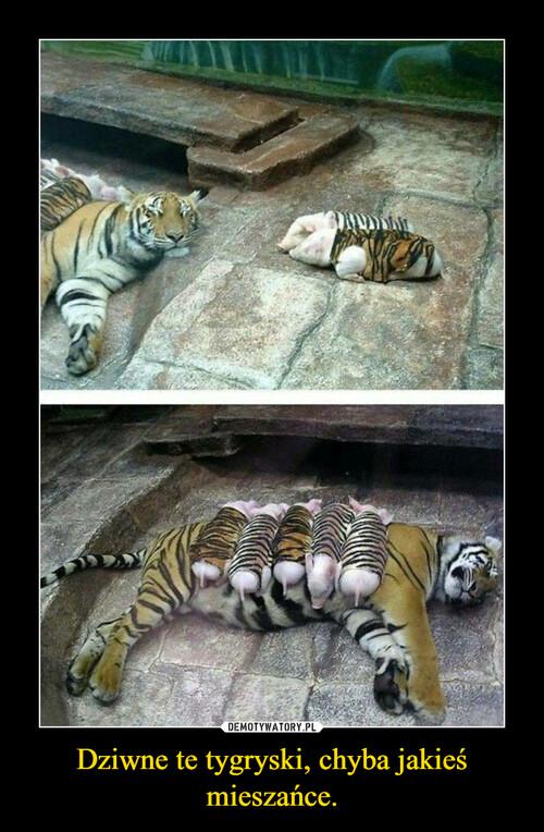 Dziwne te tygryski, chyba jakieś mieszańce.
